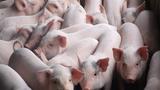 Dịch tả lợn châu Phi hoành hành tại Việt Nam nguy hiểm cỡ nào?