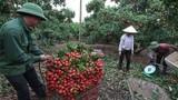 Vải thiều Lục Ngạn giúp bác nông dân này một phút đổi đời thành tỷ phú