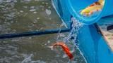"""Cá Koi thả sông Tô Lịch: Giá """"chát"""", có bị bắt trộm không?"""