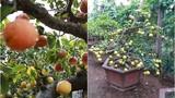 Đào, quất xưa rồi, chanh đào, chanh vàng bonsai có 1-0-2 chơi Tết độc lạ