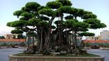 """""""Choáng váng"""" những cây sanh cổ giá triệu đô hút đại gia"""