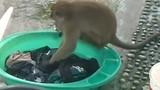 Chủ nhà kinh ngạc khi phát hiện khỉ hoang giặt quần áo hộ mình