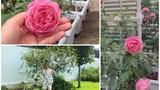 Vườn hồng tuyệt đẹp trong biệt thự của Ốc Thanh Vân