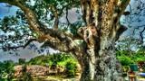 """Cận cảnh cây xoài """"thiêng"""" 300 tuổi khủng nhất Nam Bộ"""