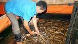 Bác tin nuôi lươn bằng thuốc tránh thai gây sốc dư luận