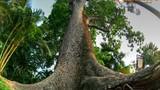 Loạt cây cổ thụ độc lạ hiếm có của Sài Gòn