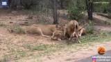 Video: Sư tử sung sướng vì mồi ngon lao thẳng vào... miệng