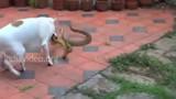 Video: Chó nhà điên cuồng cắn xé rắn hổ mang trâu và kết thảm
