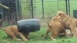 Video: Sư tử khốn khổ vì bị kẹt đầu trong thùng nhựa