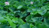 Video: Loại lá phơi khô trị bách bệnh ít người biết