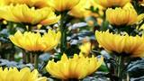 """Video: Cúng loài hoa này, gia chủ dễ """"mạt vận suy tàn"""""""