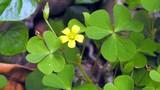 Video: 8 loại cây cỏ trong vườn nhà trị viêm họng cực tốt