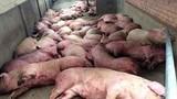 Hà Nội tiếp tục có thêm ổ dịch tả lợn Châu Phi