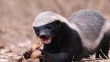 Tiết lộ khó tin loài động vật hiếm hoi bị rắn độc cắn không chết