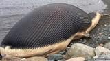Loài động vật lớn nhất trên Trái Đất, nặng tới 180 tấn