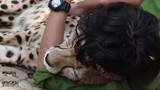 Video: Người đàn ông ôm báo săn ngủ ngon lành