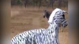 Video: Hai thanh niên đóng giả ngựa vằn trêu sư tử và cái kết