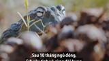 Video: Ếch khổng lồ lùa cả đàn bọ hung vào miệng