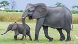 Bất ngờ khi biết chuột đá có họ hàng xa với... voi