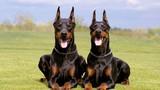 Chó hung dữ nhất thế giới: PitBull vẫn chưa có đối thủ