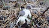 Phát hiện loại nấm có hình dạng giống con người nhưng... không ăn được