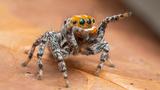 Phát hiện loài nhện mới giống hoạt hình, biết nhảy múa tán tỉnh