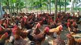 """Gà """"phá cựa"""" là gà gì mà dân ở đây nuôi, cứ bán 1 con lời 90 ngàn?"""
