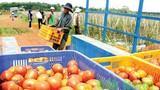 Tuyệt chiêu trồng hiệu quả của chủ vườn cà chua tiền tỷ