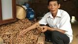 """Trồng cây tiền tỷ: Nông dân Gio An thu vàng từ """"mỏ vàng"""" nghệ"""