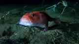Kỳ lạ: Cá đi dạo dưới đáy biển bằng... chân
