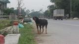 Nuôi chó phải đăng ký ở Nghệ An: Việc nên làm, nhưng sẽ khó khả thi