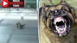 Video: Chó ngao Tây Tạng nhảy bổ vào cắn người trên phố