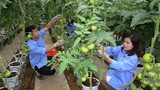 Trồng quả cay xé lưỡi, giá cao, nông dân lãi gấp 10 lần cấy lúa