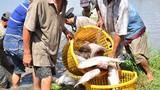 Cá nuôi trên ruộng mùa lũ, chả cần cho ăn, lời hàng chục triệu đồng
