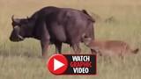"""Video: Bị linh cẩu ngoạm """"của quý"""", trâu rừng chết thảm"""