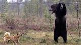 Video: Bên trong trại huấn luyện chó săn đẫm máu ở Nga