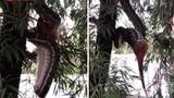 Trăn 3m từ từ nuốt trọn chồn khi treo ngược trên cây