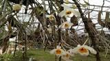 Vườn hoa lan vạn người mê tiền tỷ ở cao nguyên Mộc Châu