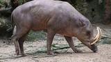 Video hiếm về loài lợn khổng lồ bí ẩn nhất thế giới