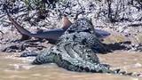 Video: Cá mập bơi lạc bị cá sấu khổng lồ xơi tái