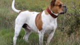 Kinh hoàng chó bulldog tấn công cắn đứt tinh hoàn nam thanh niên