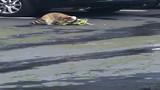 Video: Gấu mèo cắn đứt đuôi cự đà, tử chiến hung bạo giữa phố Mỹ