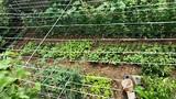 Thăm vườn sum suê rau trái của NSND Hồng Vân