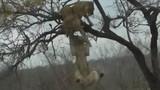 Video: Sư tử nhảy cao 3 mét cướp xác linh dương từ đồng loại trên cây