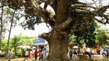 """Bí ẩn chưa biết về """"cụ"""" cây dầu dù khổng lồ ở Trà Vinh"""