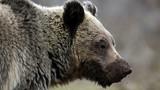 Bắn chết gấu, chồng phát hiện điều khủng khiếp xảy ra với vợ con
