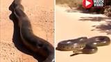 """Video: Khiếp đảm chạm trán """"trăn khủng nhất thế giới"""" dài 10m"""