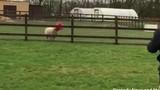 Video hài hước cừu mắc kẹt đầu vào ống nhựa cho gia cầm ăn