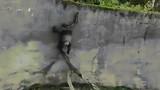Video: Chú vượn thoát khỏi sở thú bằng cách cực thông minh