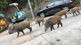 Sống chung với lợn rừng ở Hong Kong